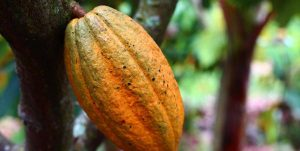 Where to find the best cocoa in the world?